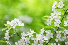 Filiale di fioritura dell'albero di prugna Fotografia Stock Libera da Diritti