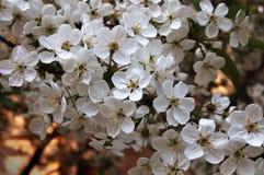 Filiale di fioritura della ciliegia Fotografia Stock