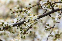 Filiale di fioritura della ciliegia Immagini Stock Libere da Diritti