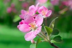 Filiale di fioritura della sorgente delle mele fotografie stock