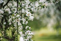 Filiale di fioritura di melo Immagine Stock Libera da Diritti
