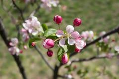 Filiale di fioritura di melo Fotografia Stock Libera da Diritti
