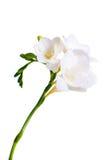 Filiale di freesia bianco Fotografia Stock Libera da Diritti