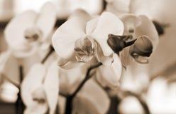 Filiale di grandi orchidee bianche Fotografia Stock Libera da Diritti