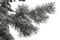 Filiale di inverno del pino Fotografie Stock Libere da Diritti