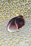 Filiale di nudi di amoena di Chelidonura Fotografia Stock
