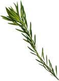 Filiale di olive isolata su bianco. Immagini Stock