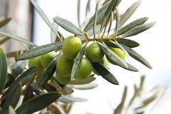 Filiale di olive verdi Fotografie Stock Libere da Diritti