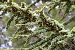 Filiale di un albero di pino Fotografia Stock Libera da Diritti