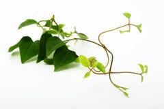 Filiale di un'erba verde Fotografie Stock Libere da Diritti