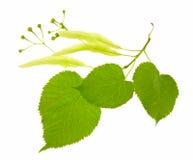 Filiale di un linden sbocciante con i fogli verdi. Fotografia Stock
