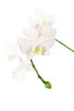 Filiale di un'orchidea bianca Fotografia Stock Libera da Diritti
