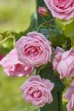 Filiale di una rosa Fotografie Stock