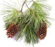 Filiale e coni di albero del pino Fotografia Stock Libera da Diritti