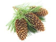 Filiale e coni di albero del pino Fotografie Stock