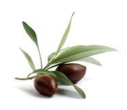 Filiale fresca di olivo con le olive Fotografia Stock Libera da Diritti