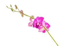 Filiale porpora dell'orchidea Immagini Stock Libere da Diritti
