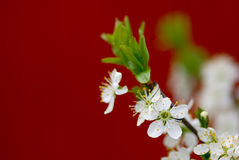 Filiale sbocciante della ciliegia Immagini Stock Libere da Diritti