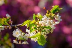 Filiale sbocciante della ciliegia fotografia stock