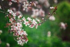Filiale sbocciante della ciliegia Fiori delicati su un fondo verde Immagini Stock