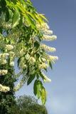 Filiale verde con i fiori bianchi Fotografia Stock