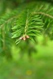 Filiale verde con i piccoli pini Immagine Stock