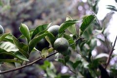 Filiale verde dei mandarini Fotografia Stock