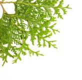 Filiale verde del ginepro Immagini Stock Libere da Diritti