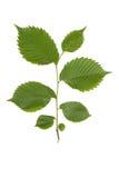 Filiale verde dell'olmo. Fotografia Stock