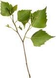 Filiale verde della betulla Fotografia Stock