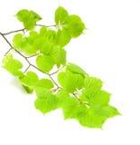 Filiale verde di limetta Immagine Stock