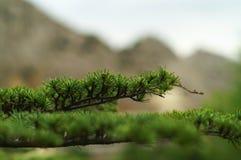 Filiale verde di un pelliccia-albero Fotografia Stock Libera da Diritti