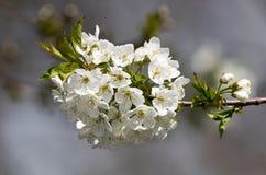 Filialen av äppleträdet med många blommar Arkivfoton