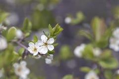 Filialen av blomningar för körsbärsrött träd Arkivbilder