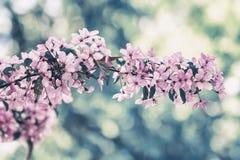Filialen av det blommande vårträdet, rosa färg blommar Tappning utformad färg Abstrakt suddig tonad bakgrund Royaltyfria Bilder