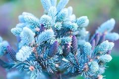 Filialen av en julgran med blåa visare och unga kottar Royaltyfri Fotografi