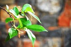 Filialen av ett träd Fotografering för Bildbyråer