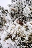 Filialen av granen som täckas med snö Fotografering för Bildbyråer