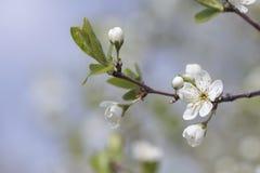 Filialen av körsbärsröda blomningar Royaltyfri Fotografi
