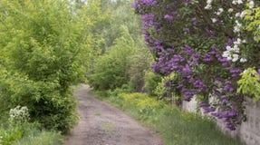 Filialen av lilan på den therural gatan kan in Royaltyfri Foto