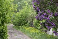 Filialen av lilan på den therural gatan kan in Royaltyfri Fotografi