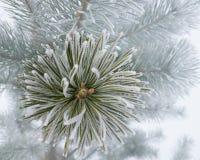 Filialen av sörjer trädet som täckas med rimfrostmakro Royaltyfri Fotografi