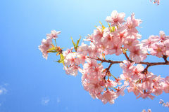 Filialen av Sakura blommor som blommar på Ueno, parkerar Japan royaltyfri foto