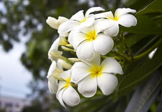 filialen blommar den tropiska frangipanien royaltyfri fotografi