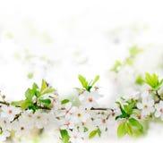 filialen blommar fjädertreewhite Arkivfoton