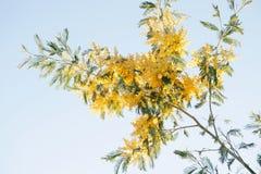 filialen blommar mimosayellow Royaltyfri Bild