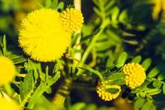 filialen blommar mimosayellow Arkivbild