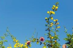 filialen blommar mimosayellow Fotografering för Bildbyråer