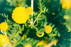 filialen blommar mimosayellow Royaltyfri Foto
