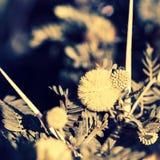 filialen blommar mimosayellow Royaltyfri Fotografi